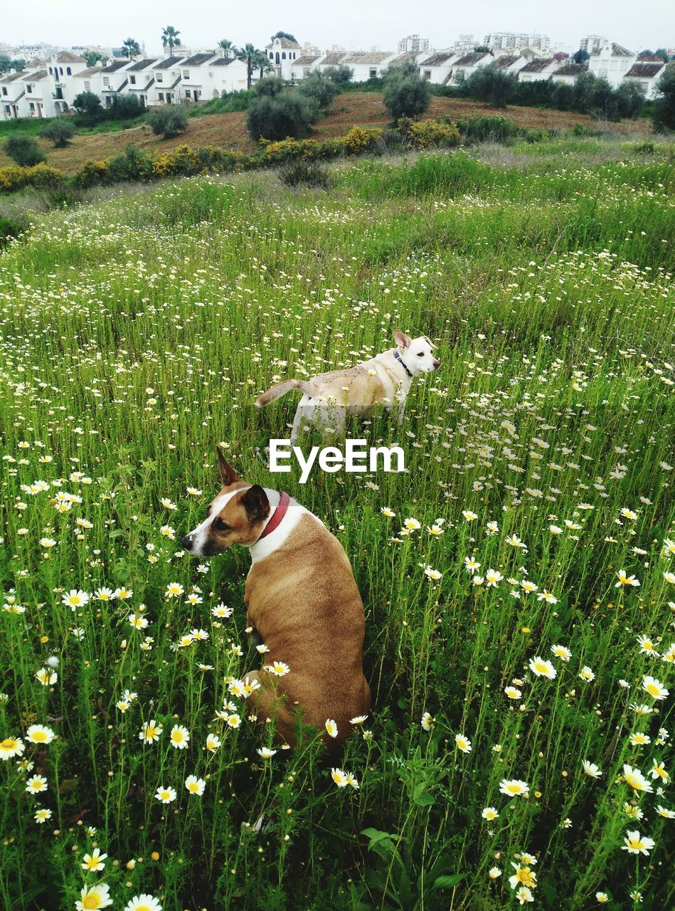 dog, domestic animals, grass, field, mammal, animal themes, growth, pets, green color, one animal, nature, day, no people, outdoors, landscape, standing, plant, sky