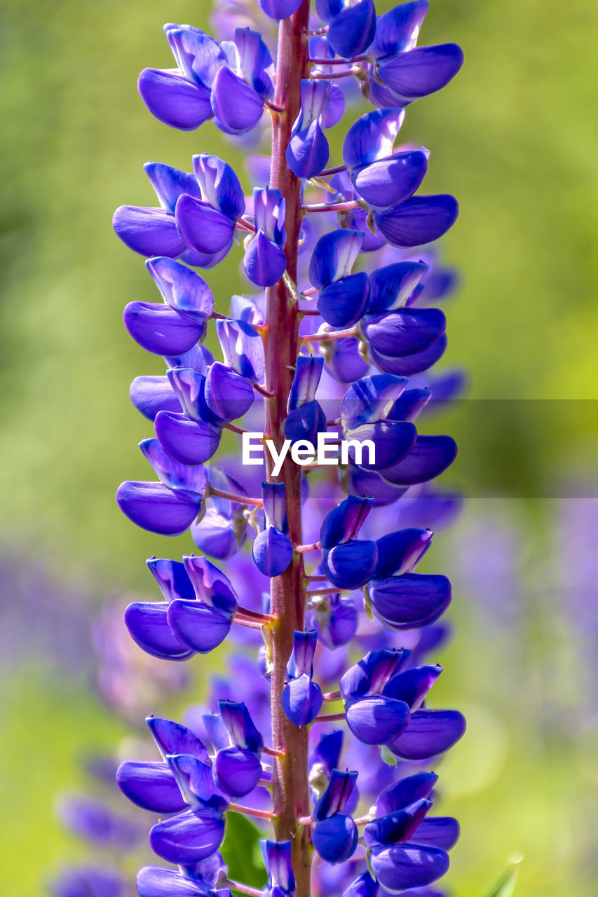purple, flower, flowering plant, plant, vulnerability, freshness, close-up, beauty in nature, growth, fragility, nature, focus on foreground, day, petal, no people, blue, lavender, field, botany, flower head, outdoors, springtime