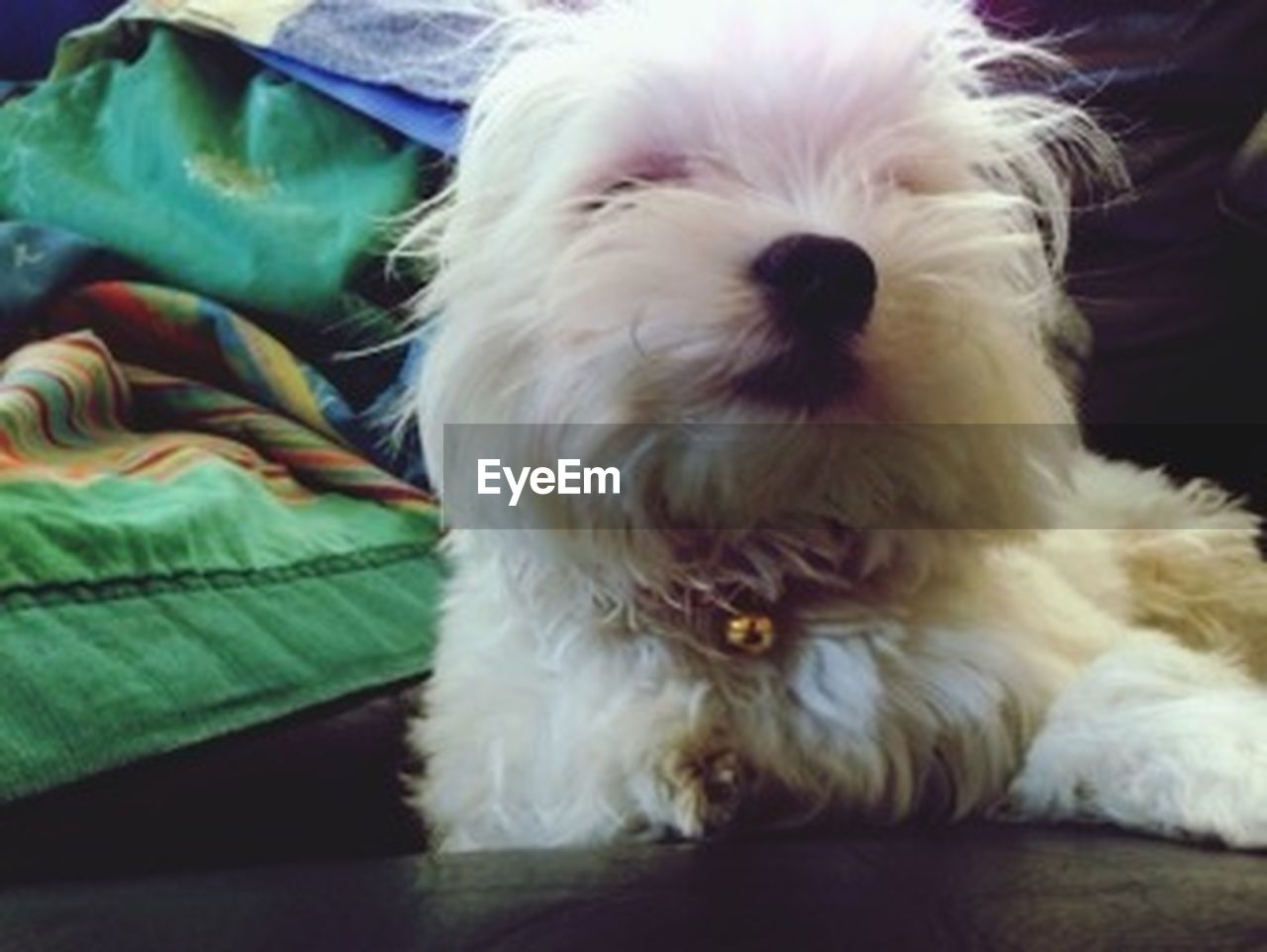 pets, dog, one animal, domestic animals, animal themes, animal, cute, west highland white terrier, indoors, lying down, close-up, sitting, mammal, looking at camera, portrait, no people, day, friendship