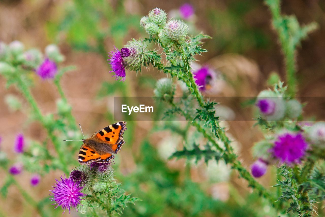 flower, flowering plant, insect, animal wildlife, plant, beauty in nature, one animal, invertebrate, animal themes, animal wing, animal, butterfly - insect, purple, vulnerability, fragility, animals in the wild, flower head, freshness, petal, nature, no people, pollination, outdoors, butterfly