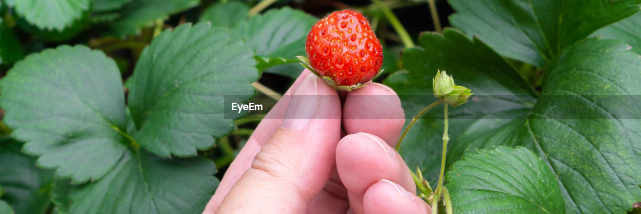 fruit, freshness, leaf, healthy eating, plant part, human hand, hand, food, green color, food and drink, red, close-up, plant, growth, real people, day, human body part, berry fruit, nature, one person, body part, finger, outdoors, ripe