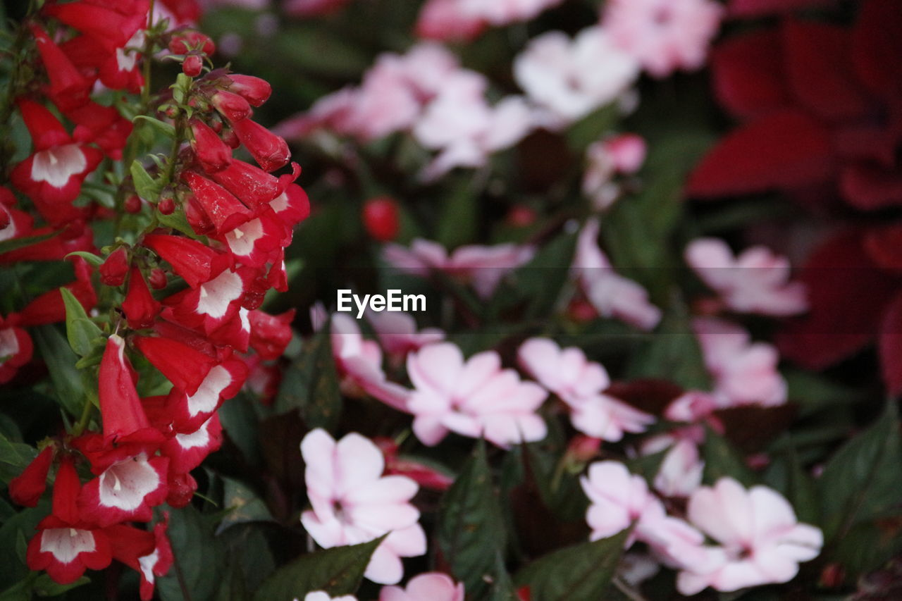 flower, growth, petal, beauty in nature, fragility, nature, red, freshness, plant, blooming, no people, day, outdoors, flower head, close-up