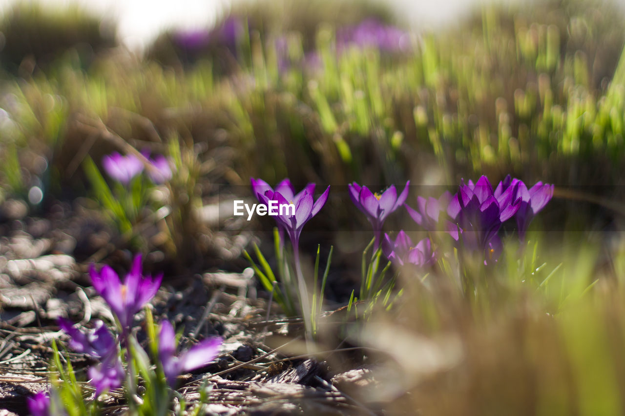 plant, flower, flowering plant, growth, beauty in nature, vulnerability, fragility, selective focus, freshness, land, purple, nature, field, close-up, no people, day, petal, outdoors, crocus, flower head, iris