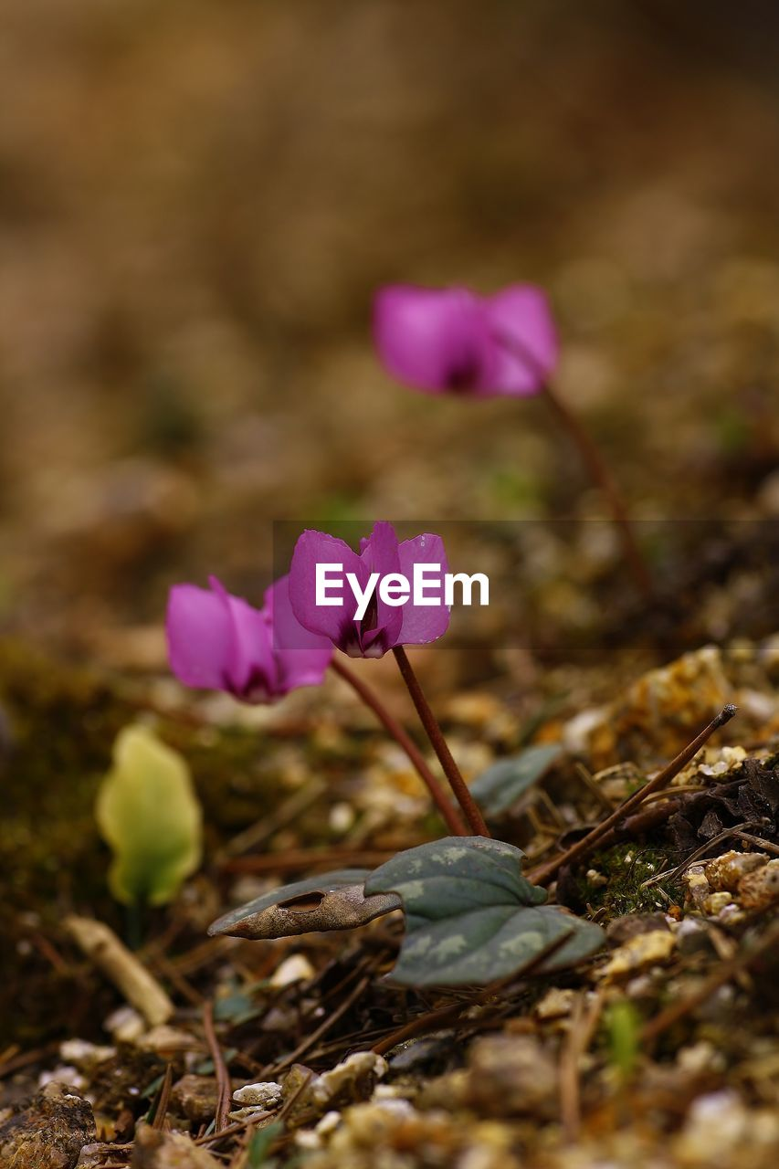 flower, fragility, petal, nature, beauty in nature, growth, plant, field, pink color, purple, freshness, flower head, blooming, no people, day, crocus, close-up, outdoors