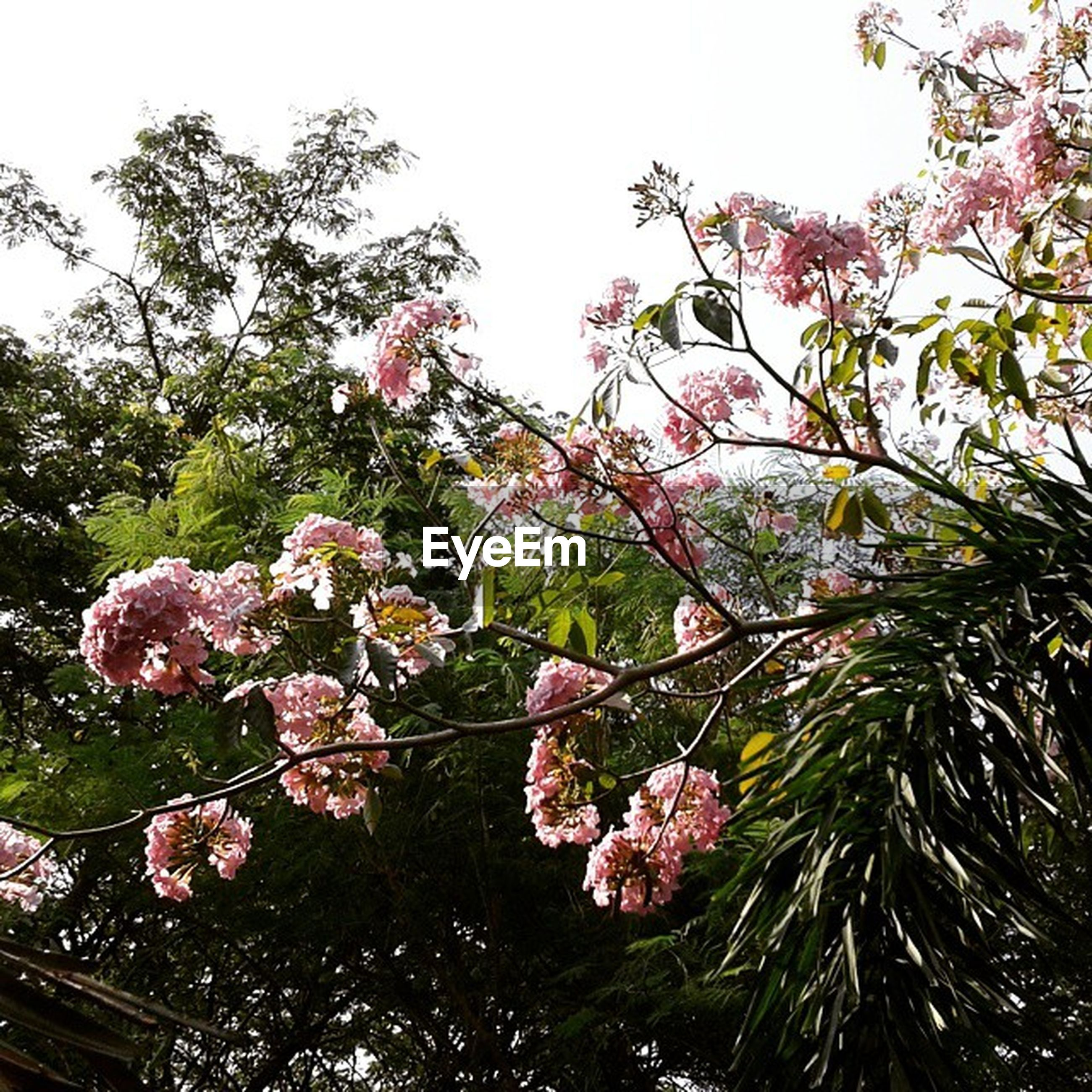 low angle view, tree, flower, branch, growth, freshness, clear sky, sky, architecture, built structure, pink color, nature, hanging, building exterior, cherry tree, day, blossom, fragility, beauty in nature, outdoors