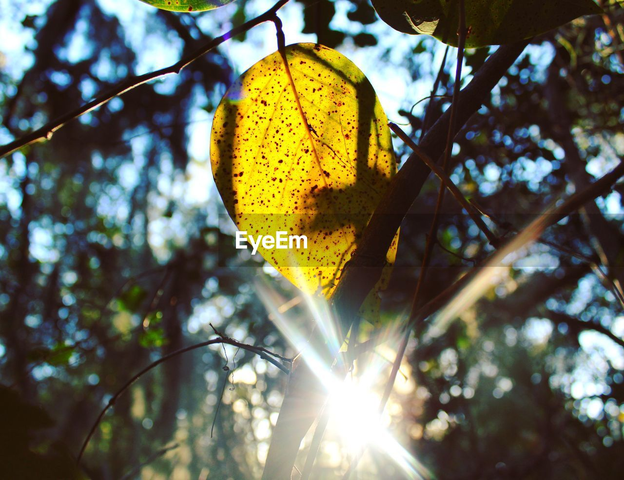plant, tree, nature, low angle view, leaf, plant part, day, sunlight, yellow, growth, no people, close-up, sunbeam, focus on foreground, outdoors, beauty in nature, sun, autumn, branch, lens flare, change, bright