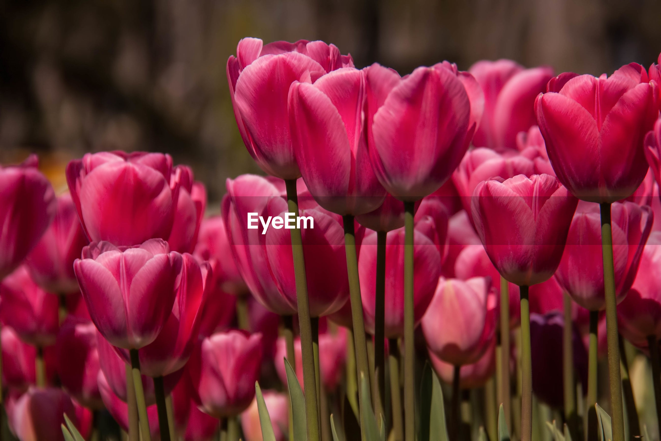CLOSE-UP OF PINK TULIPS BLOOMING