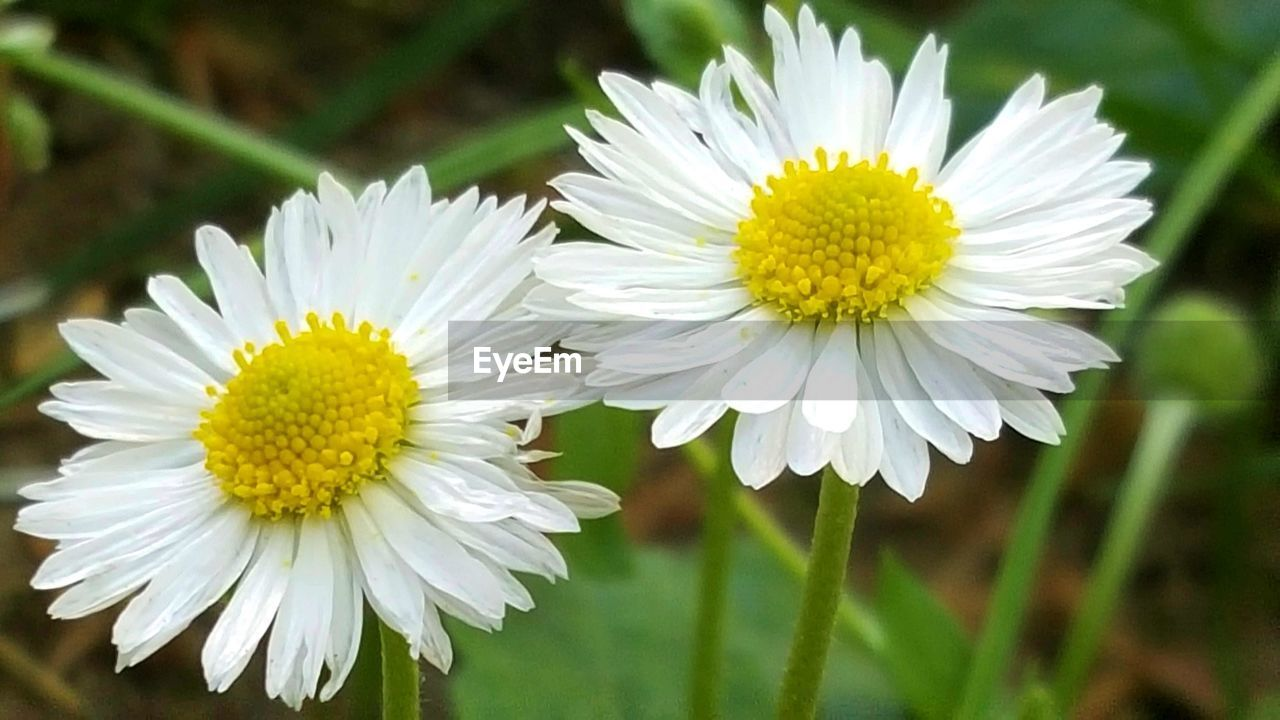 flower, flowering plant, freshness, plant, fragility, vulnerability, petal, beauty in nature, growth, flower head, inflorescence, close-up, yellow, white color, focus on foreground, pollen, daisy, nature, no people, day, outdoors