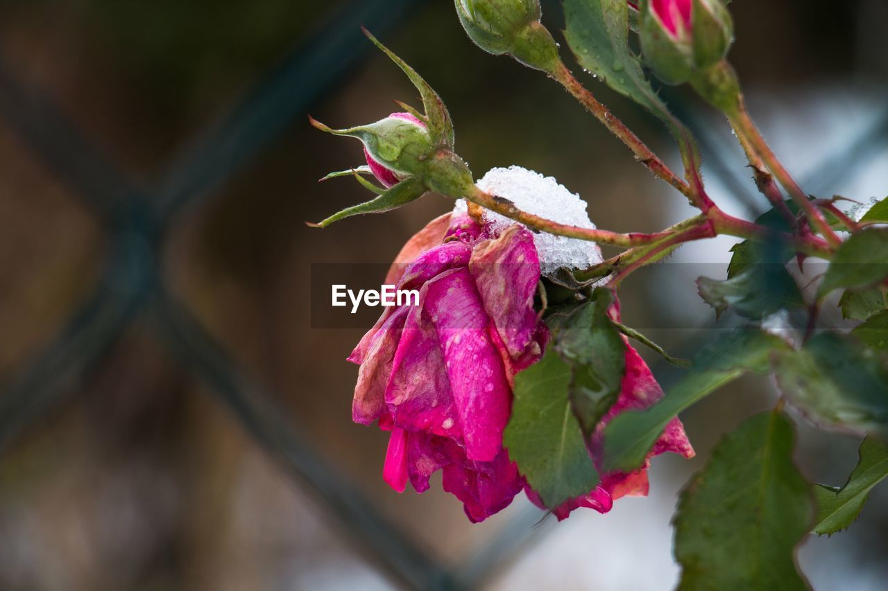 flower, pink color, nature, growth, fragility, plant, no people, close-up, beauty in nature, day, focus on foreground, petal, freshness, leaf, outdoors, flower head