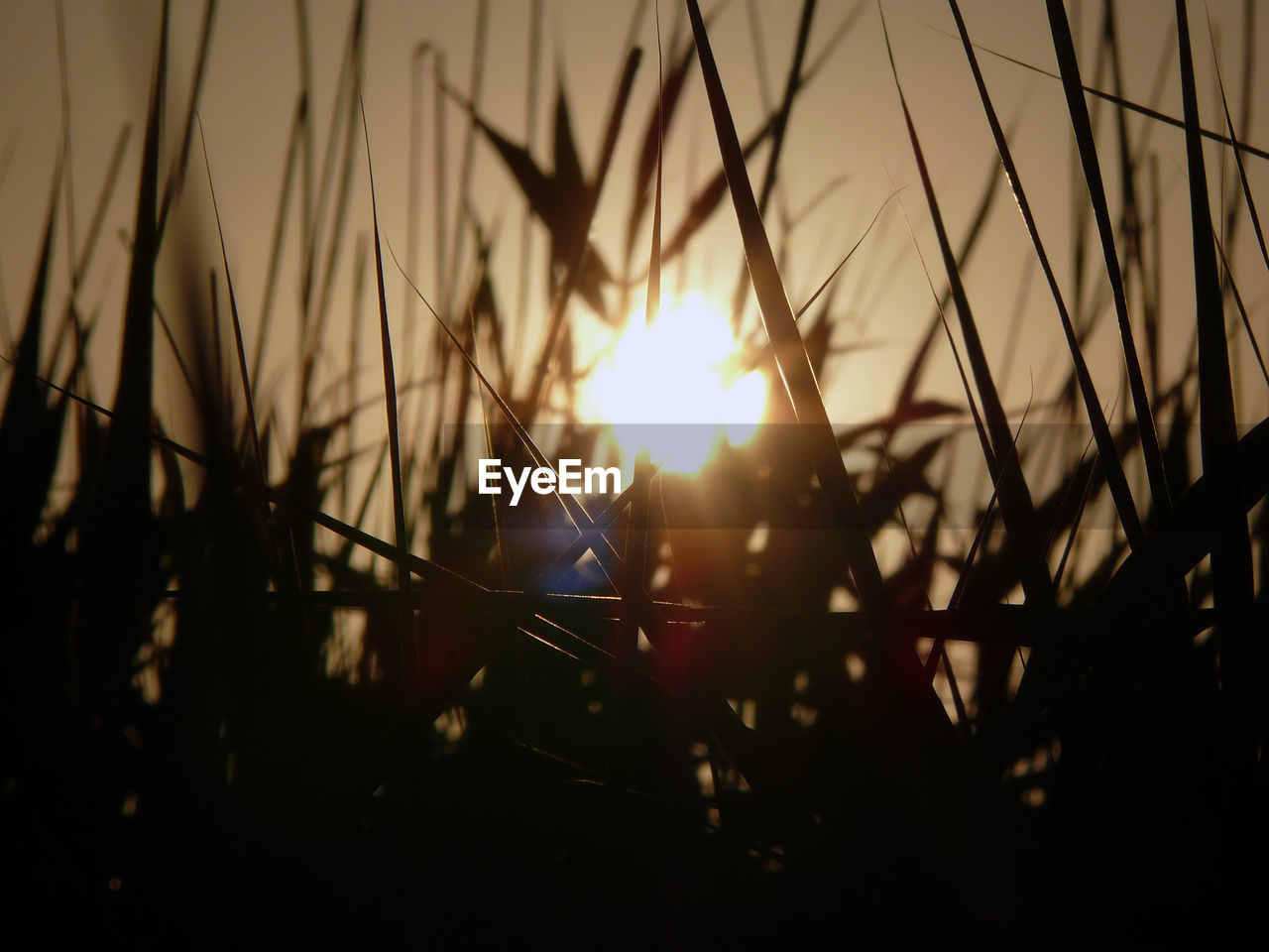 sunset, sun, lens flare, nature, silhouette, growth, beauty in nature, no people, sunlight, outdoors, field, plant, tranquility, scenics, tranquil scene, close-up, grass, sky, tree, day
