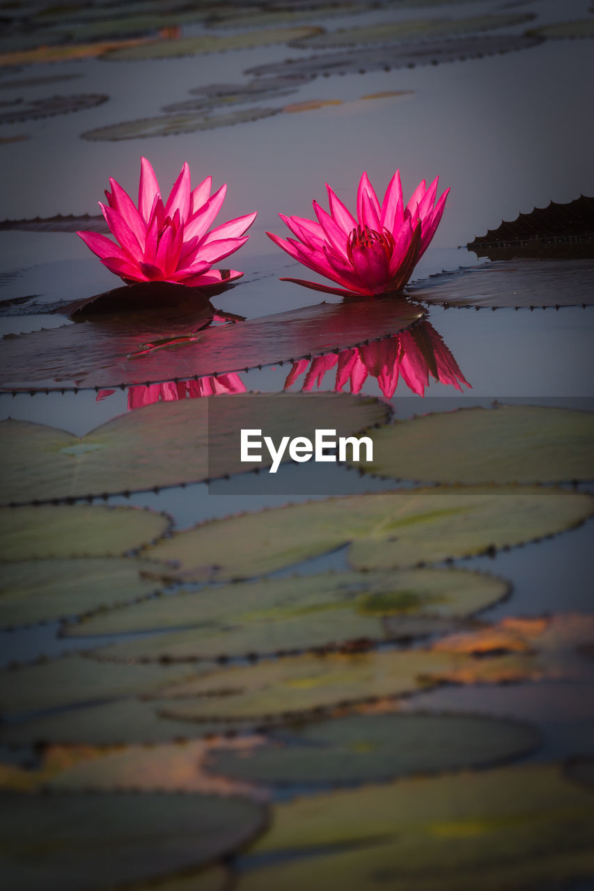 flower, nature, beauty in nature, water, fragility, water lily, pond, lotus water lily, petal, reflection, floating on water, no people, pink color, flower head, lily pad, freshness, lotus, outdoors, leaf, close-up, day