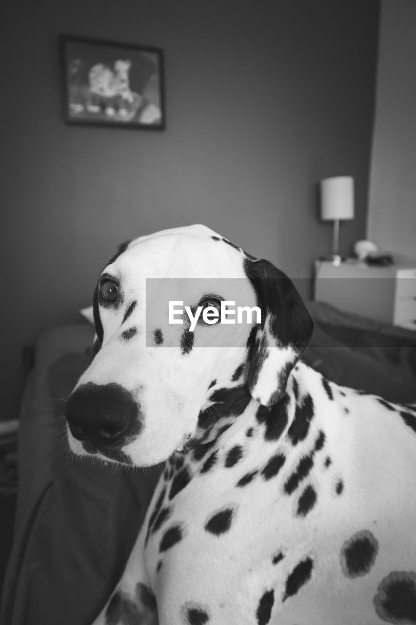 Close-Up Portrait Of Dalmatian Dog At Home