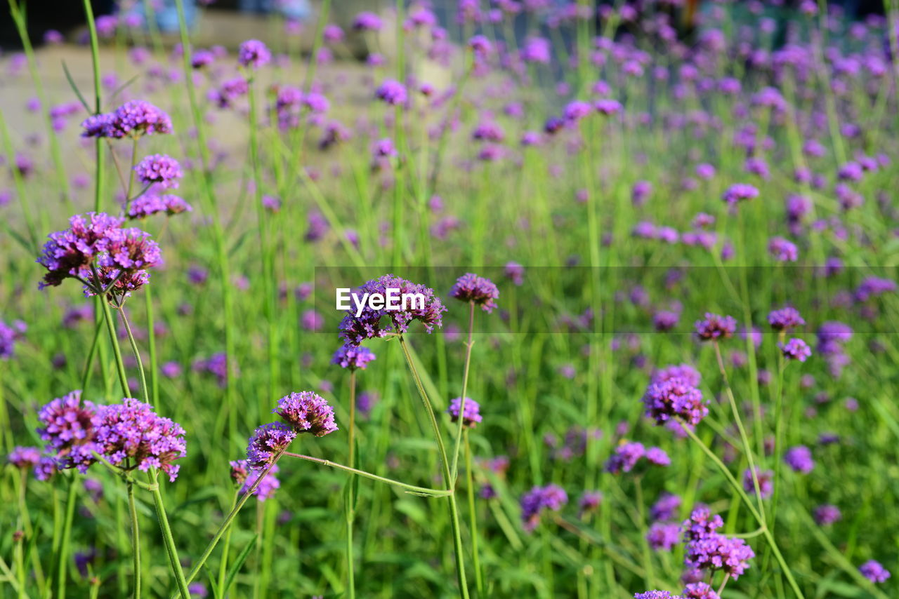 flowering plant, flower, plant, beauty in nature, freshness, growth, fragility, vulnerability, field, nature, purple, land, no people, close-up, pink color, focus on foreground, green color, flower head, day, inflorescence, outdoors, flowerbed, clover