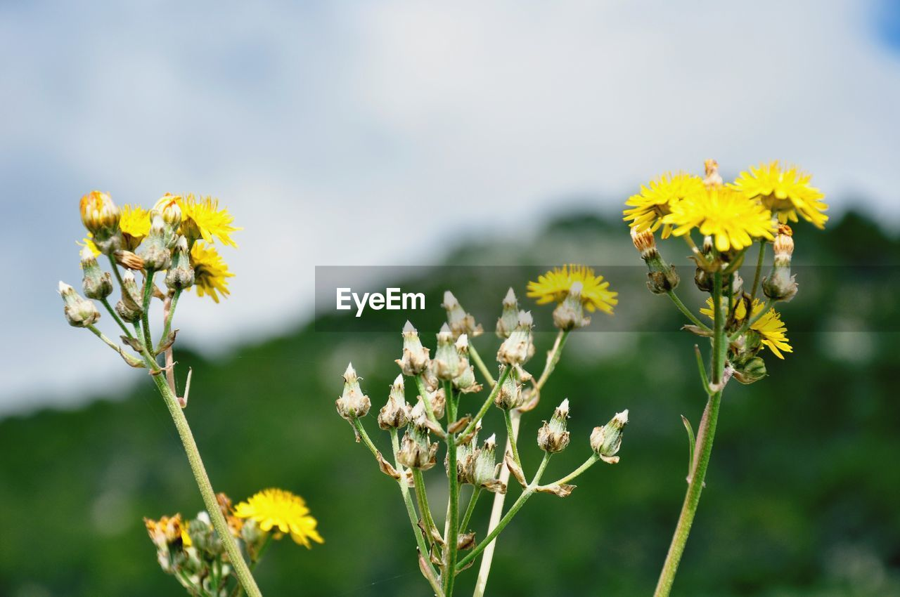 flower, flowering plant, plant, fragility, vulnerability, growth, beauty in nature, freshness, yellow, close-up, nature, focus on foreground, flower head, petal, day, inflorescence, no people, outdoors, selective focus, plant stem, pollination