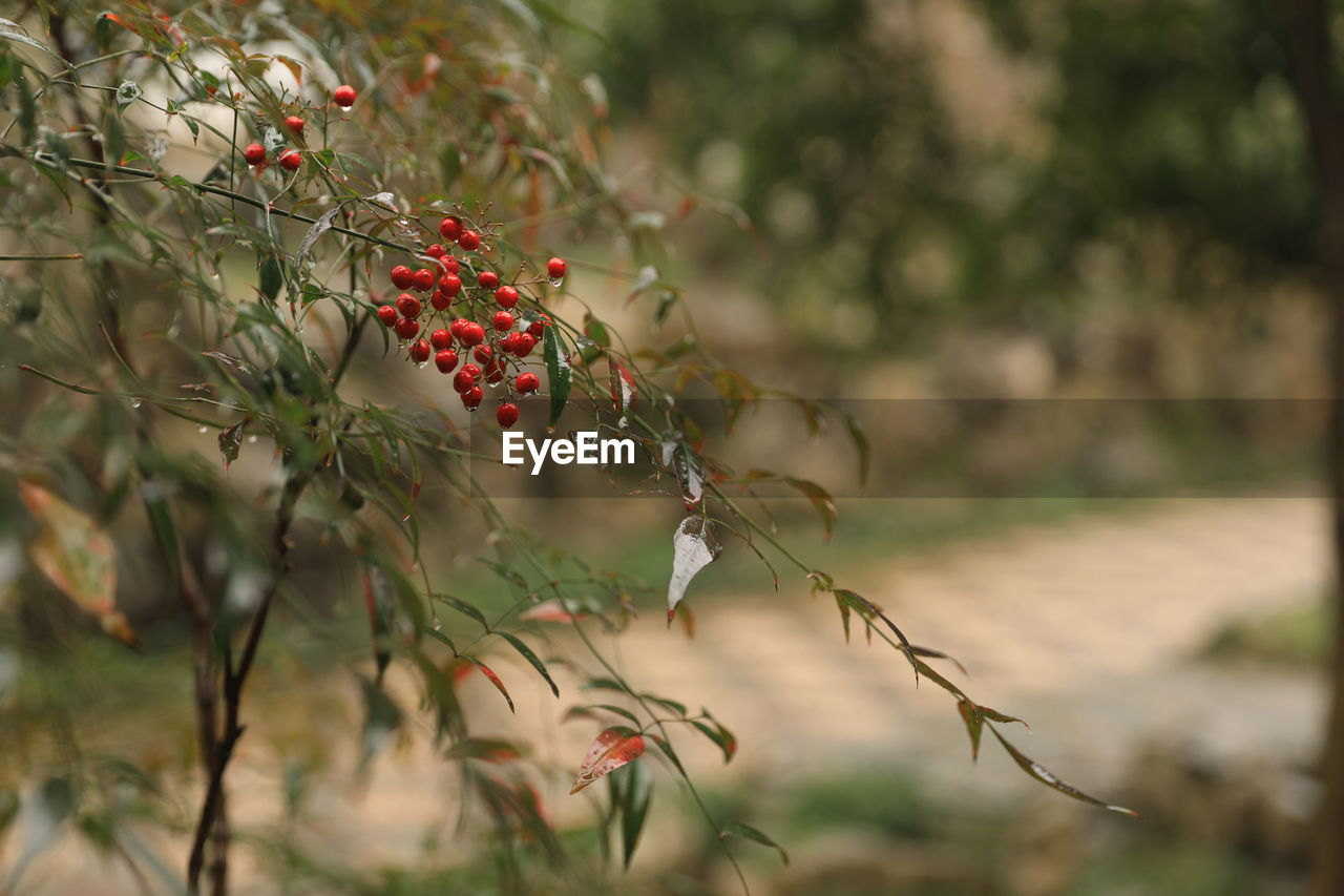 growth, fruit, plant, food and drink, food, selective focus, berry fruit, healthy eating, freshness, day, nature, tree, red, focus on foreground, no people, close-up, plant part, beauty in nature, wellbeing, leaf, outdoors, ripe, rowanberry