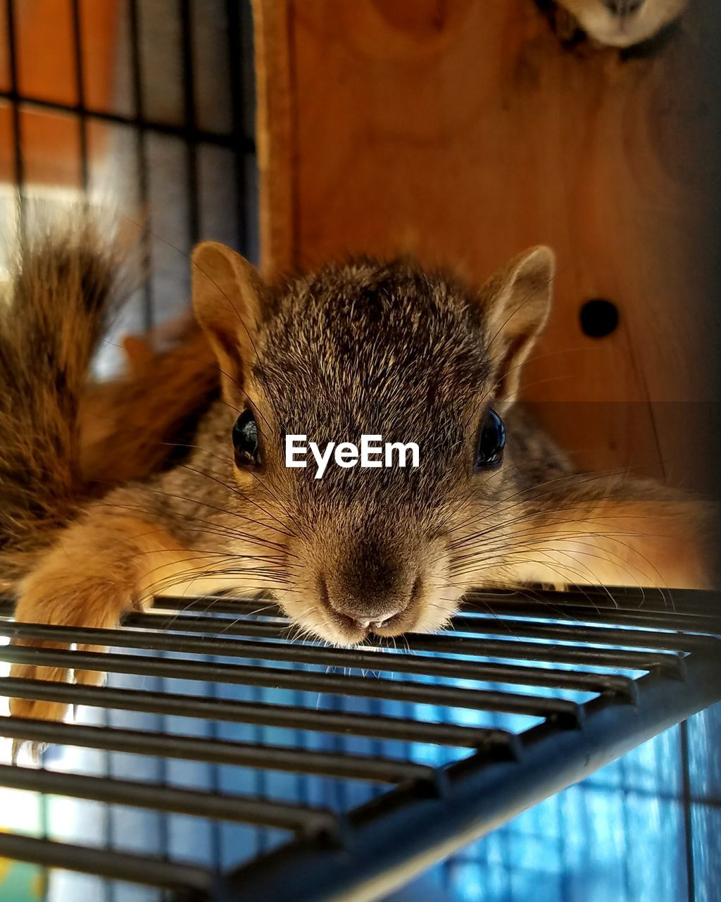 animal themes, one animal, rodent, mammal, indoors, cage, pets, no people, close-up, animal wildlife, domestic animals, animals in the wild, nature, day