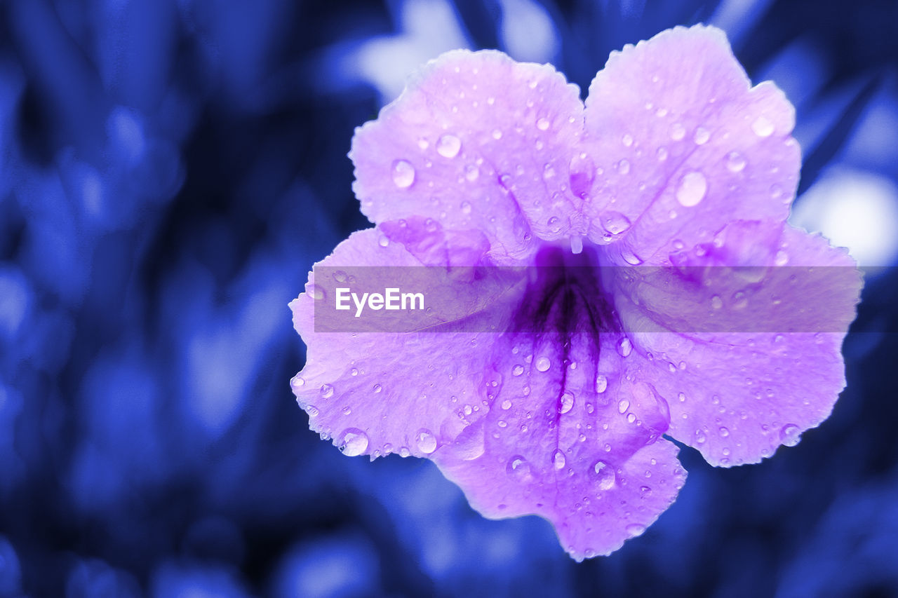 beauty in nature, flowering plant, drop, petal, vulnerability, flower, wet, water, freshness, fragility, growth, inflorescence, close-up, plant, flower head, purple, nature, no people, outdoors, rain, purity, pollen, dew, springtime, raindrop