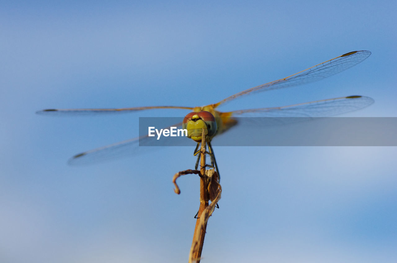 one animal, animal themes, animals in the wild, animal, animal wildlife, invertebrate, insect, dragonfly, animal wing, blue, close-up, sky, day, no people, clear sky, nature, focus on foreground, outdoors, animal body part, copy space, stick - plant part, animal eye