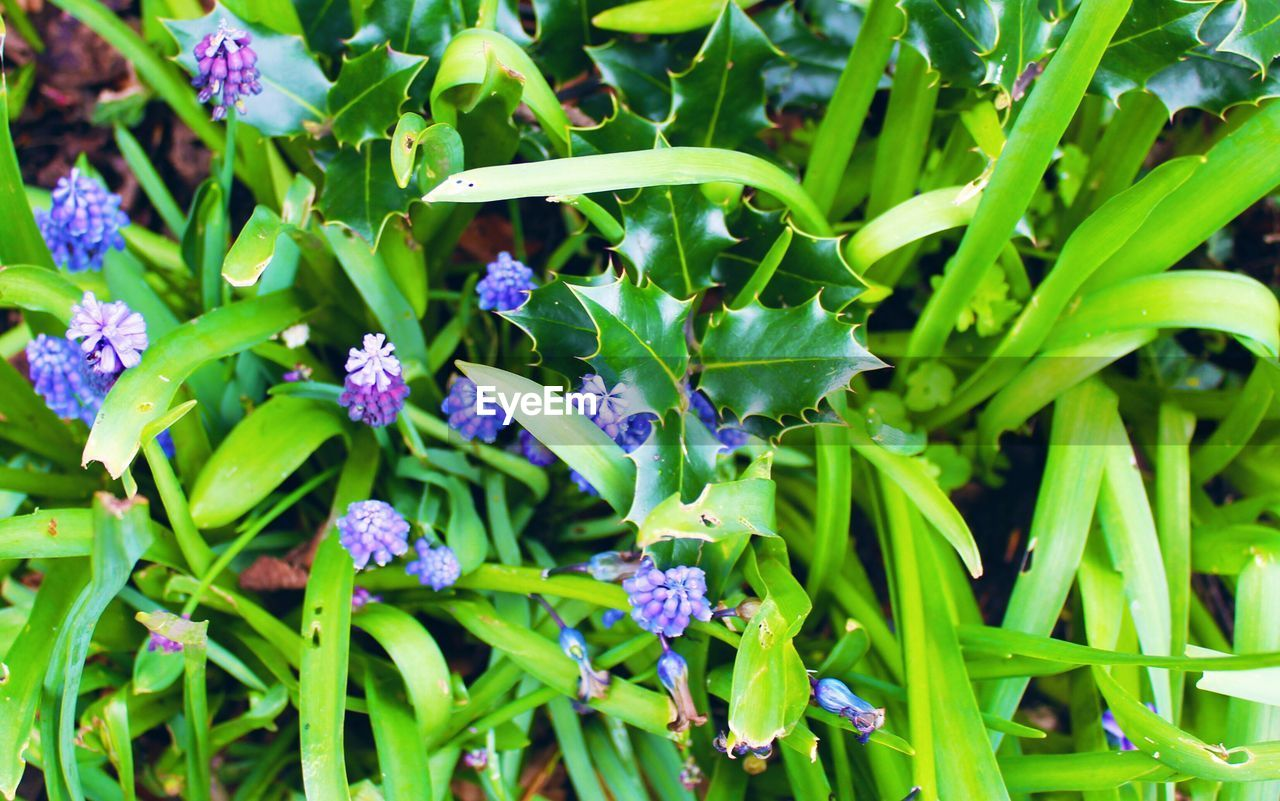plant, growth, flower, green color, flowering plant, freshness, beauty in nature, vulnerability, fragility, nature, leaf, plant part, close-up, no people, purple, day, high angle view, outdoors, botany, full frame, flower head