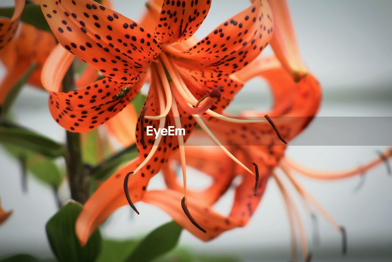 Close-up of tiger lilies blooming outdoors