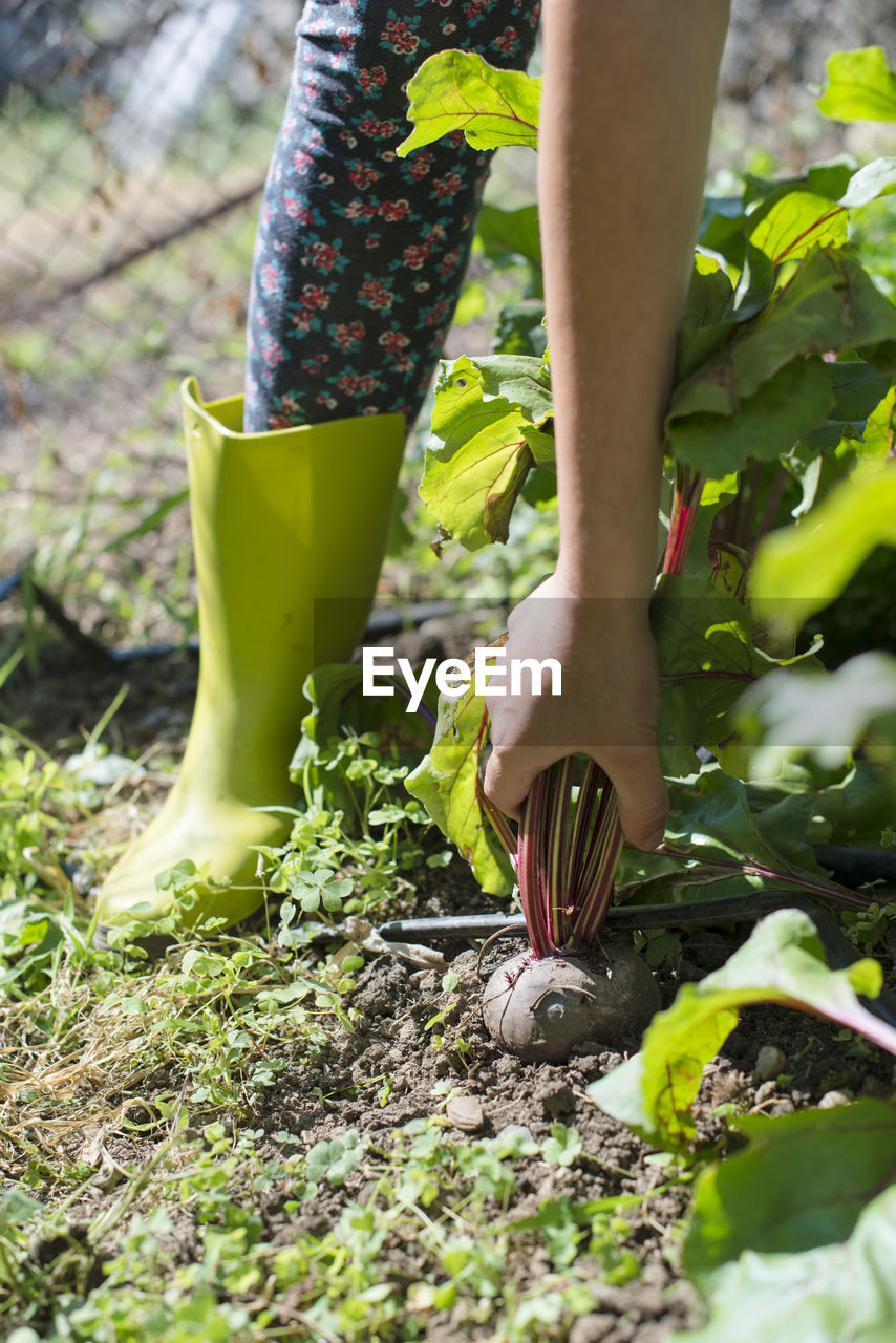 Low section of woman picking plants in garden