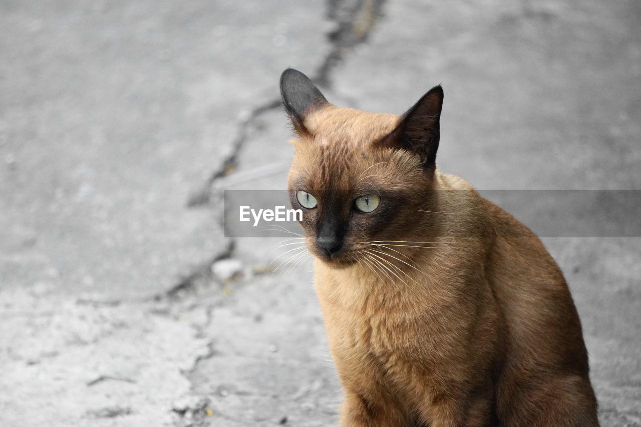 one animal, cat, feline, animal, animal themes, domestic, mammal, pets, domestic cat, domestic animals, vertebrate, siamese cat, whisker, day, no people, focus on foreground, brown, portrait, looking at camera, animal head, animal eye