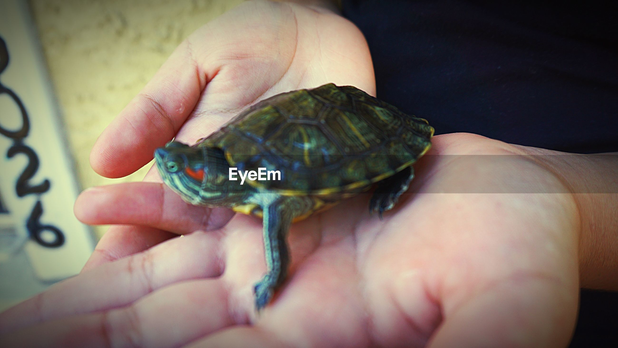 Cropped image of person with turtle