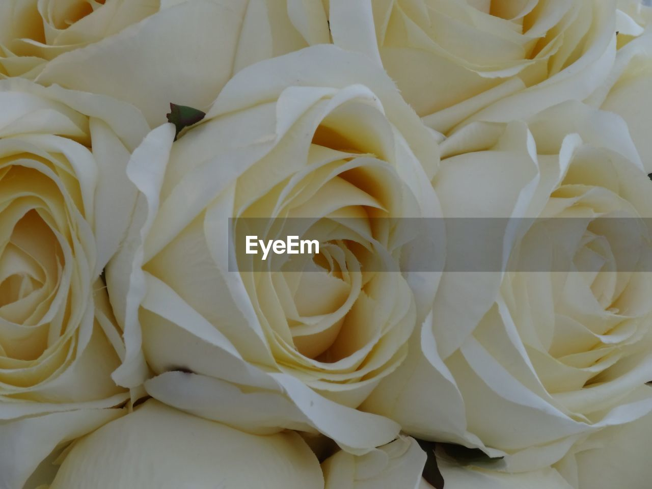 flower, petal, rose - flower, flower head, white color, full frame, beauty in nature, freshness, fragility, backgrounds, no people, close-up, love, nature, indoors, day