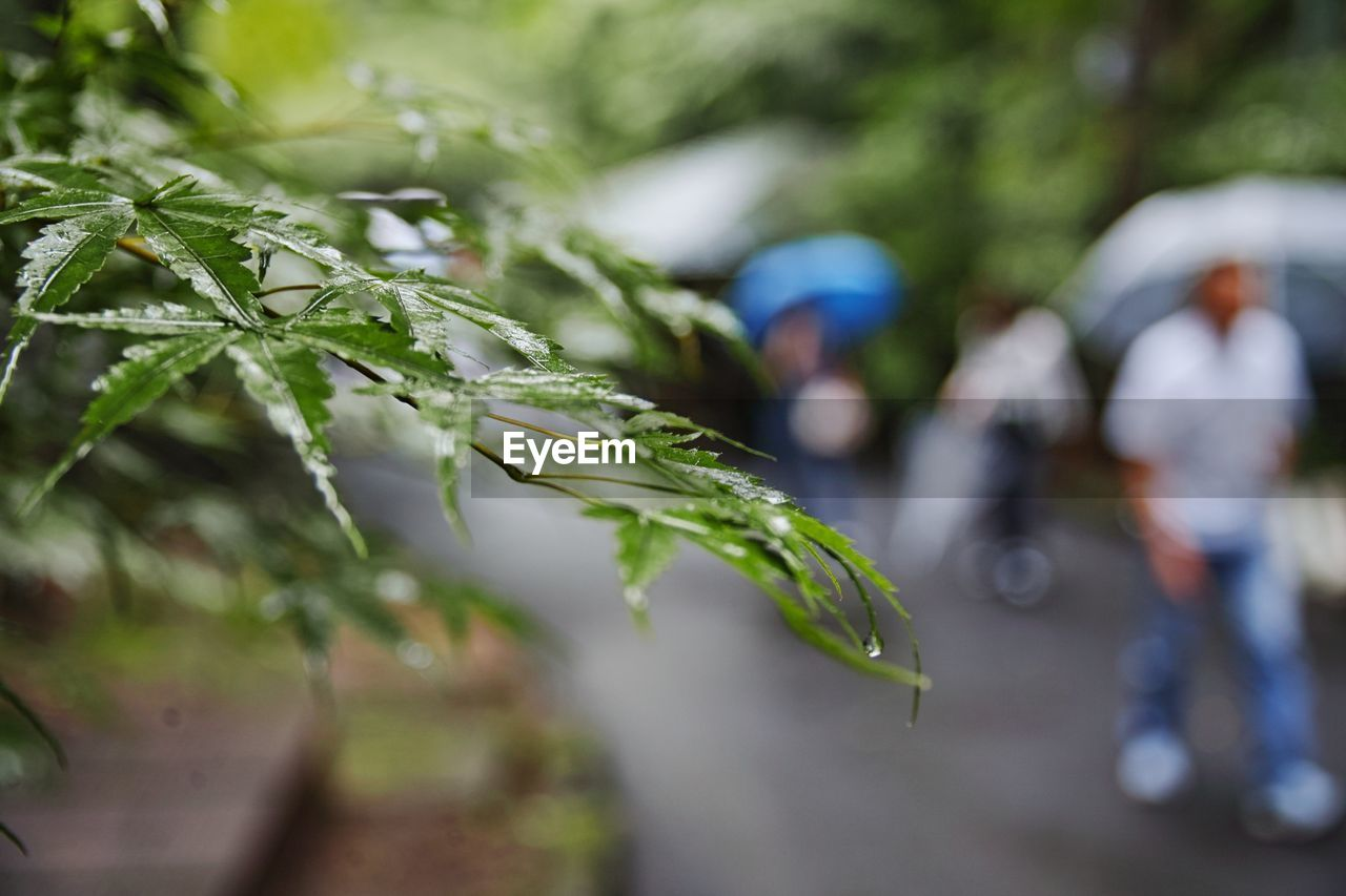 leaf, plant, growth, plant part, wet, day, selective focus, focus on foreground, green color, nature, close-up, incidental people, rain, drop, outdoors, protection, water, tree, men, rainy season, raindrop