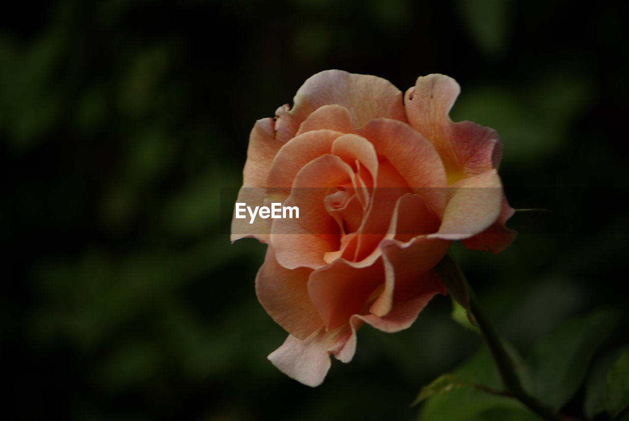 flower, petal, flowering plant, plant, beauty in nature, fragility, inflorescence, vulnerability, close-up, freshness, flower head, growth, rose, focus on foreground, nature, rose - flower, no people, outdoors, day