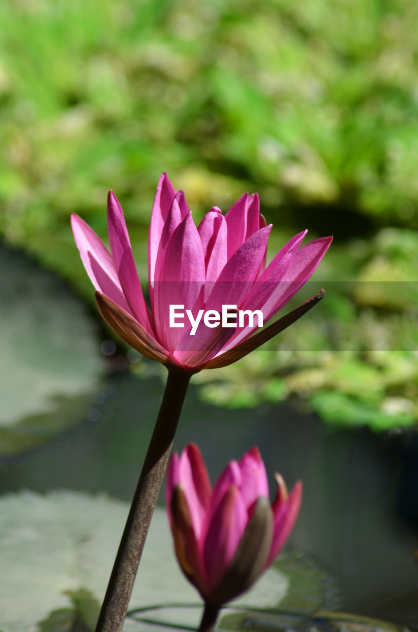 beauty in nature, flowering plant, water, flower, plant, water lily, lake, vulnerability, fragility, freshness, pink color, close-up, petal, nature, growth, inflorescence, flower head, lily, lotus water lily, no people, outdoors, purple, floating on water