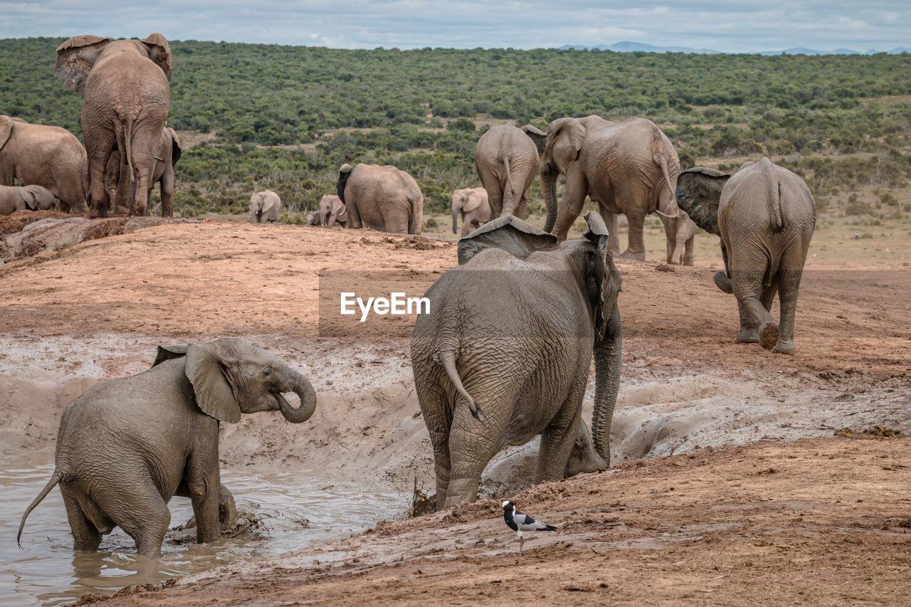 HERD OF ELEPHANT IN THE ANIMAL