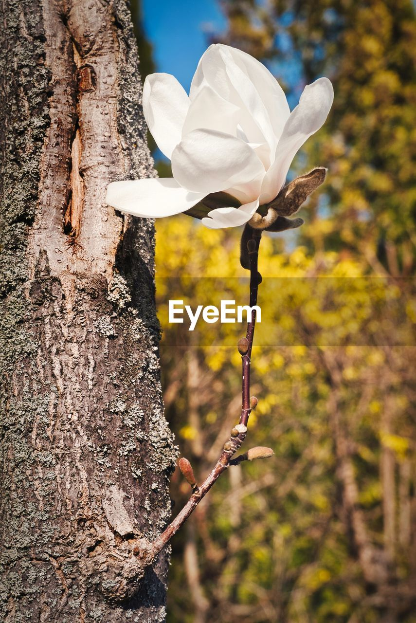 plant, focus on foreground, trunk, tree trunk, flowering plant, flower, tree, nature, growth, close-up, vulnerability, day, no people, fragility, beauty in nature, white color, petal, freshness, outdoors, animals in the wild, flower head