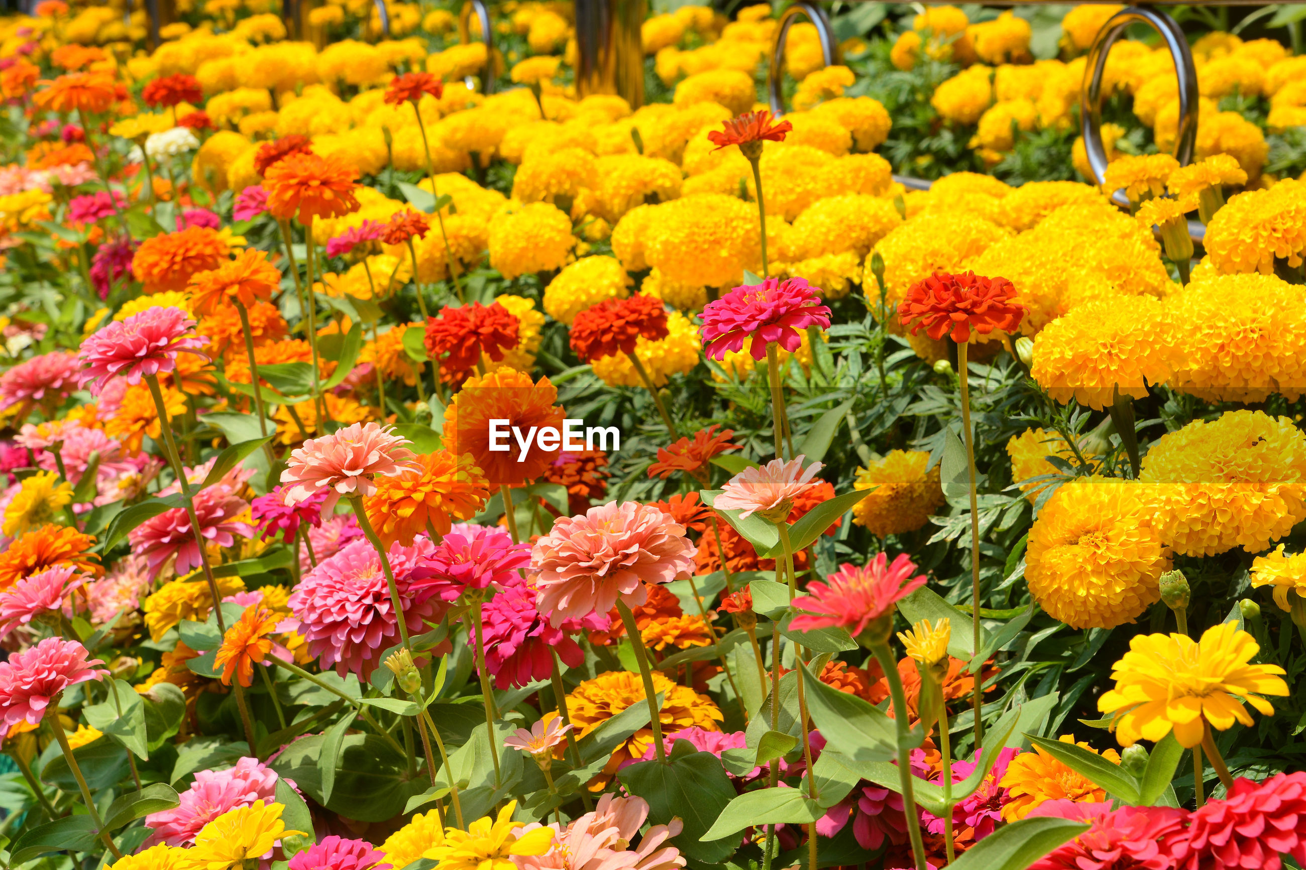 CLOSE-UP OF MULTI COLORED FLOWERS IN PARK