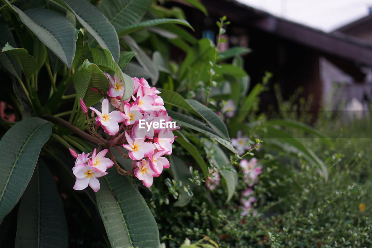 plant, growth, flower, flowering plant, beauty in nature, freshness, vulnerability, fragility, nature, plant part, leaf, green color, petal, close-up, pink color, day, focus on foreground, no people, outdoors, inflorescence, flower head