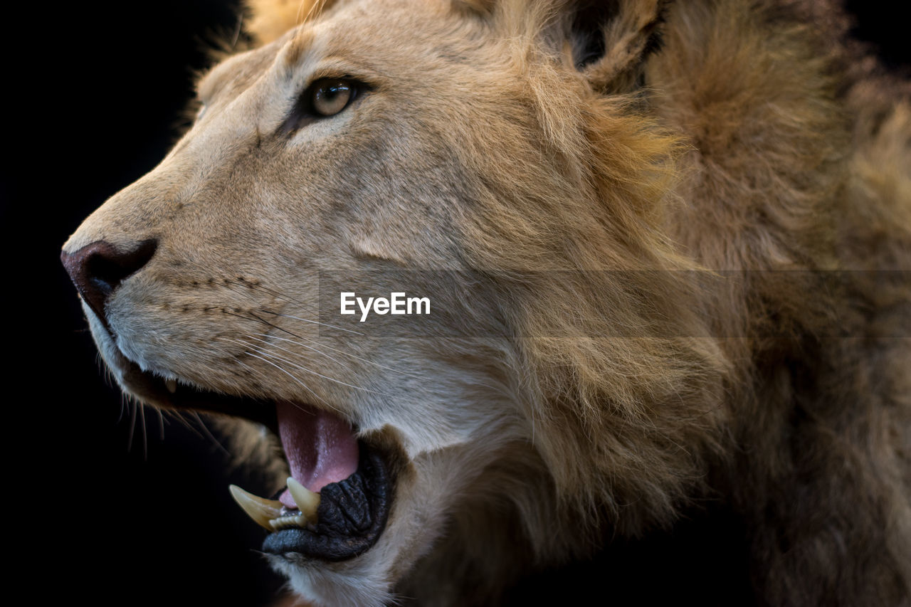 animal, animal themes, mammal, one animal, vertebrate, close-up, mouth, animal body part, animal wildlife, mouth open, animal head, animals in the wild, no people, lion - feline, domestic animals, black background, looking away, pets, indoors, focus on foreground, animal teeth, animal mouth, aggression
