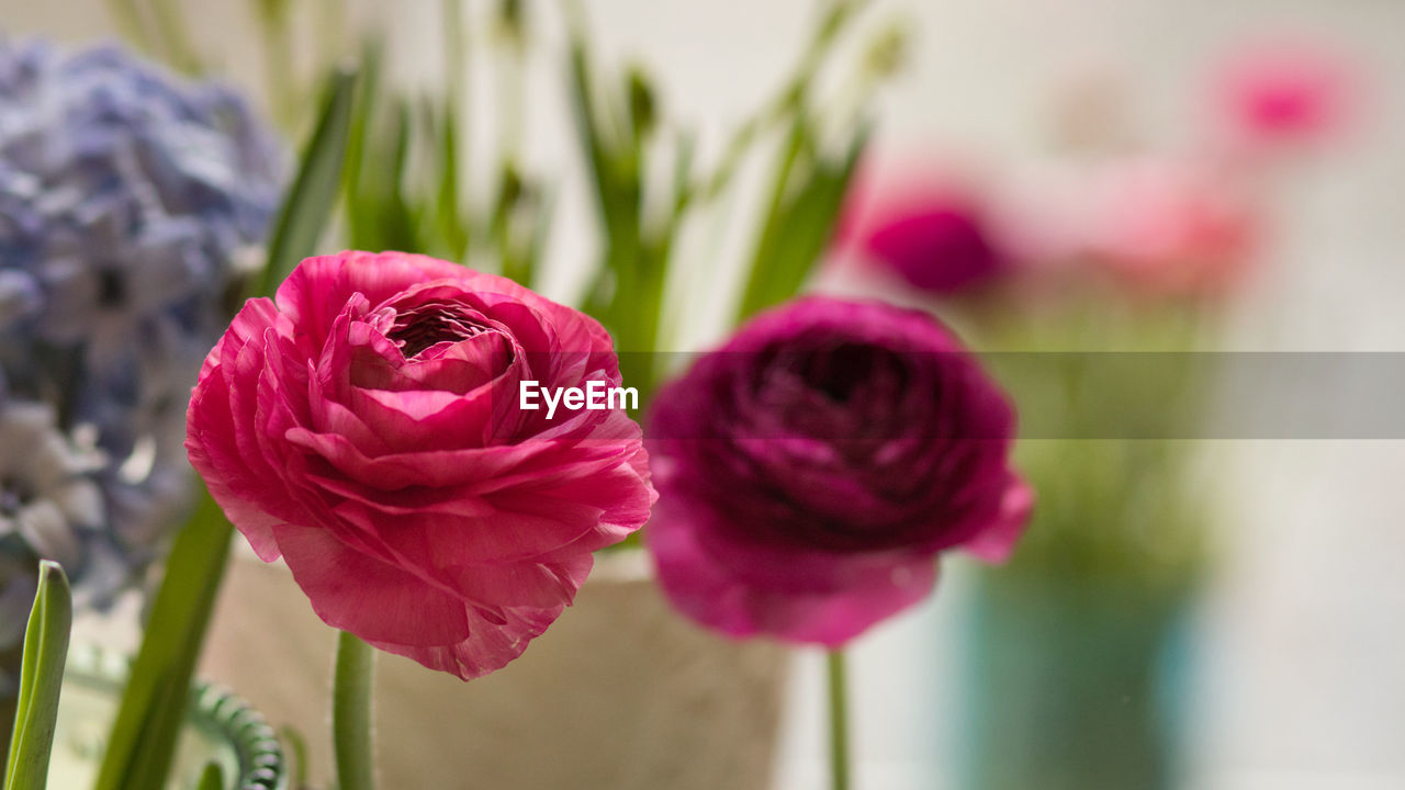 flowering plant, flower, plant, vulnerability, beauty in nature, freshness, fragility, close-up, petal, focus on foreground, inflorescence, flower head, growth, nature, no people, pink color, selective focus, day, plant stem, rose - flower