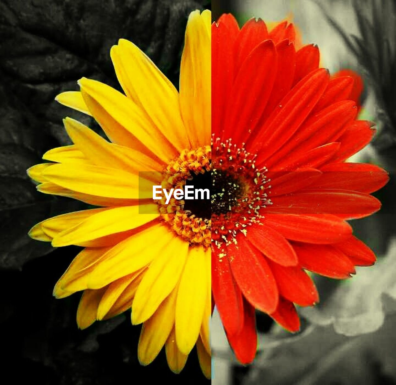 flower, petal, flower head, fragility, freshness, yellow, beauty in nature, nature, pollen, growth, blooming, no people, close-up, day, plant, gazania, outdoors, springtime