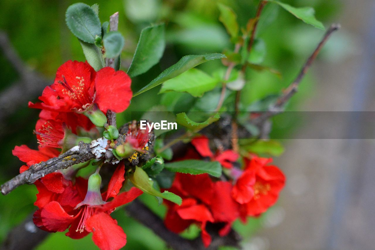 growth, plant, red, beauty in nature, close-up, freshness, day, flower, plant part, leaf, green color, fragility, flowering plant, vulnerability, selective focus, nature, no people, focus on foreground, berry fruit, flower head, outdoors