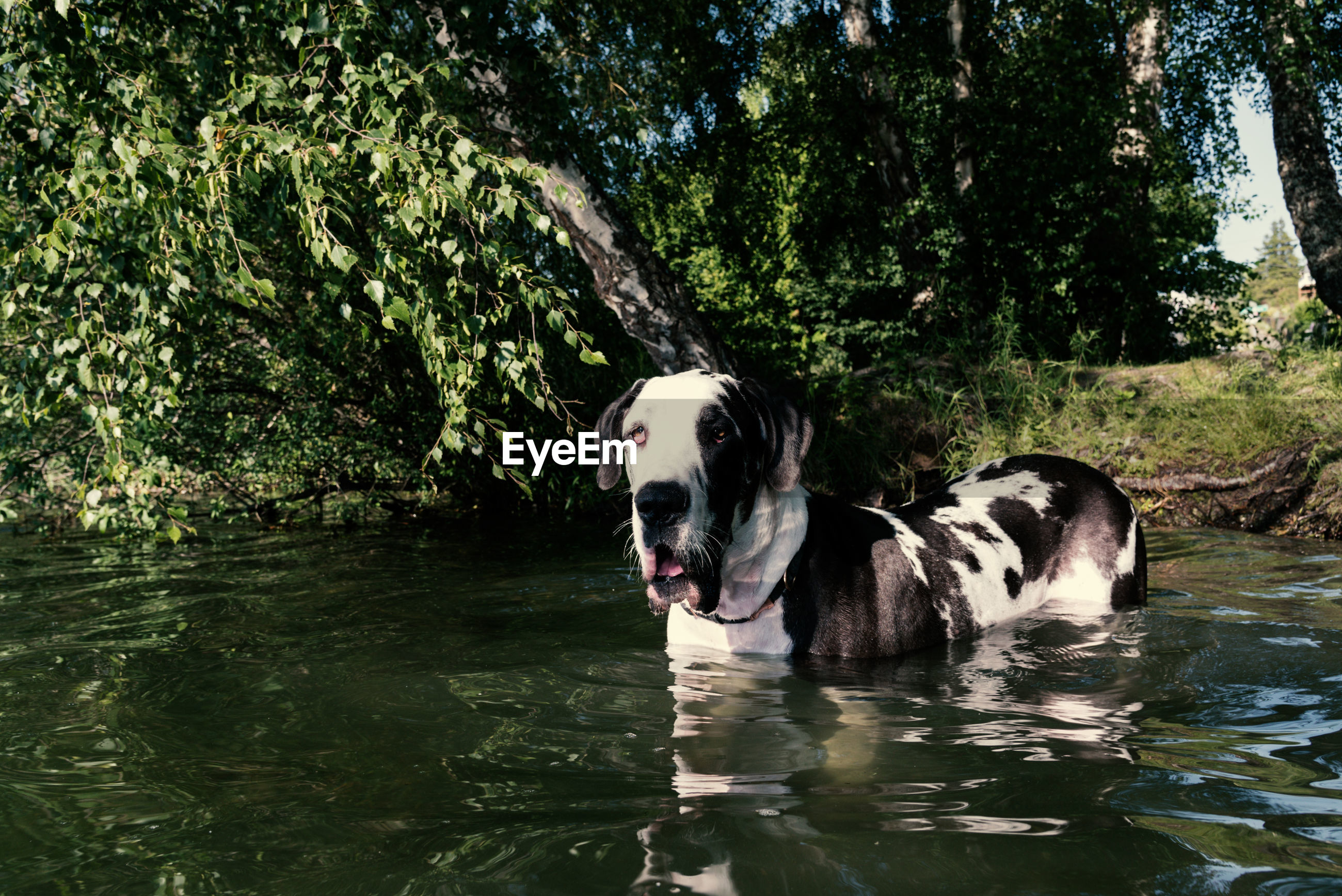 Harlequin great dane dog learning to swim at a summer lake in afternoon sun, wading out from shore.