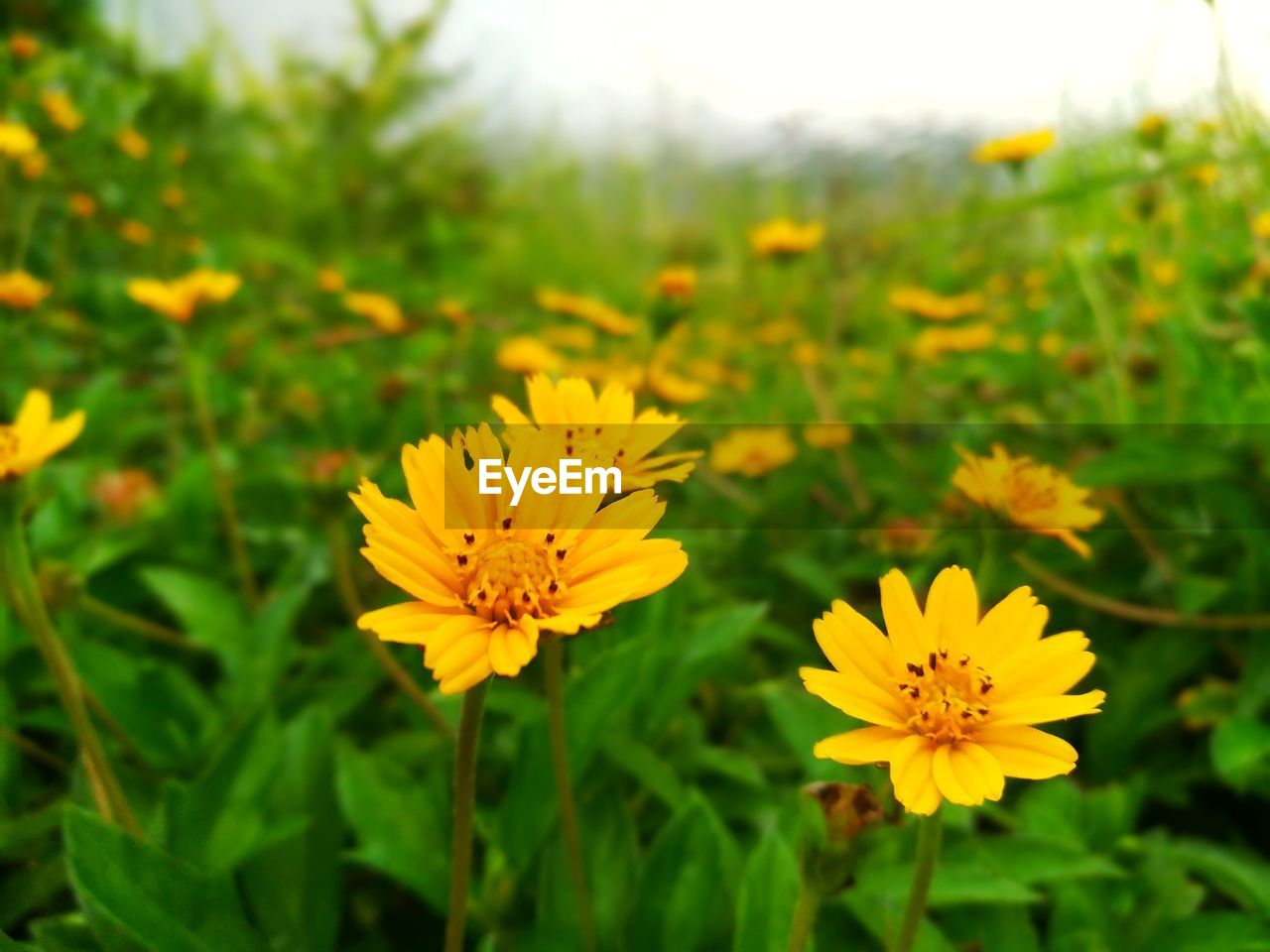 Close-Up Of Yellow Cosmos Flowers Blooming Outdoors