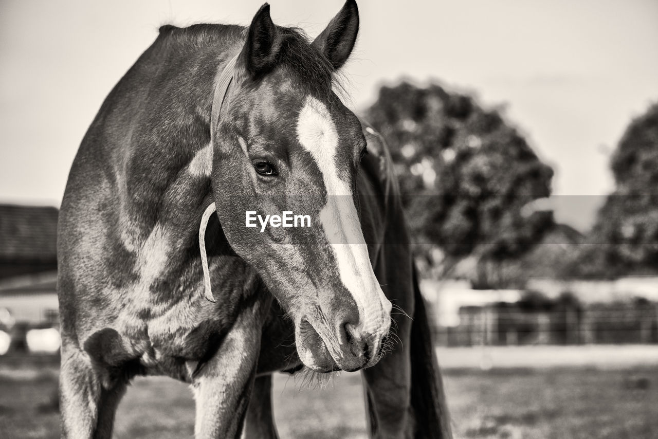 animal themes, animal, mammal, domestic animals, one animal, domestic, focus on foreground, horse, animal wildlife, livestock, vertebrate, pets, animal body part, close-up, animal head, day, no people, nature, standing, field, herbivorous, ranch, animal eye