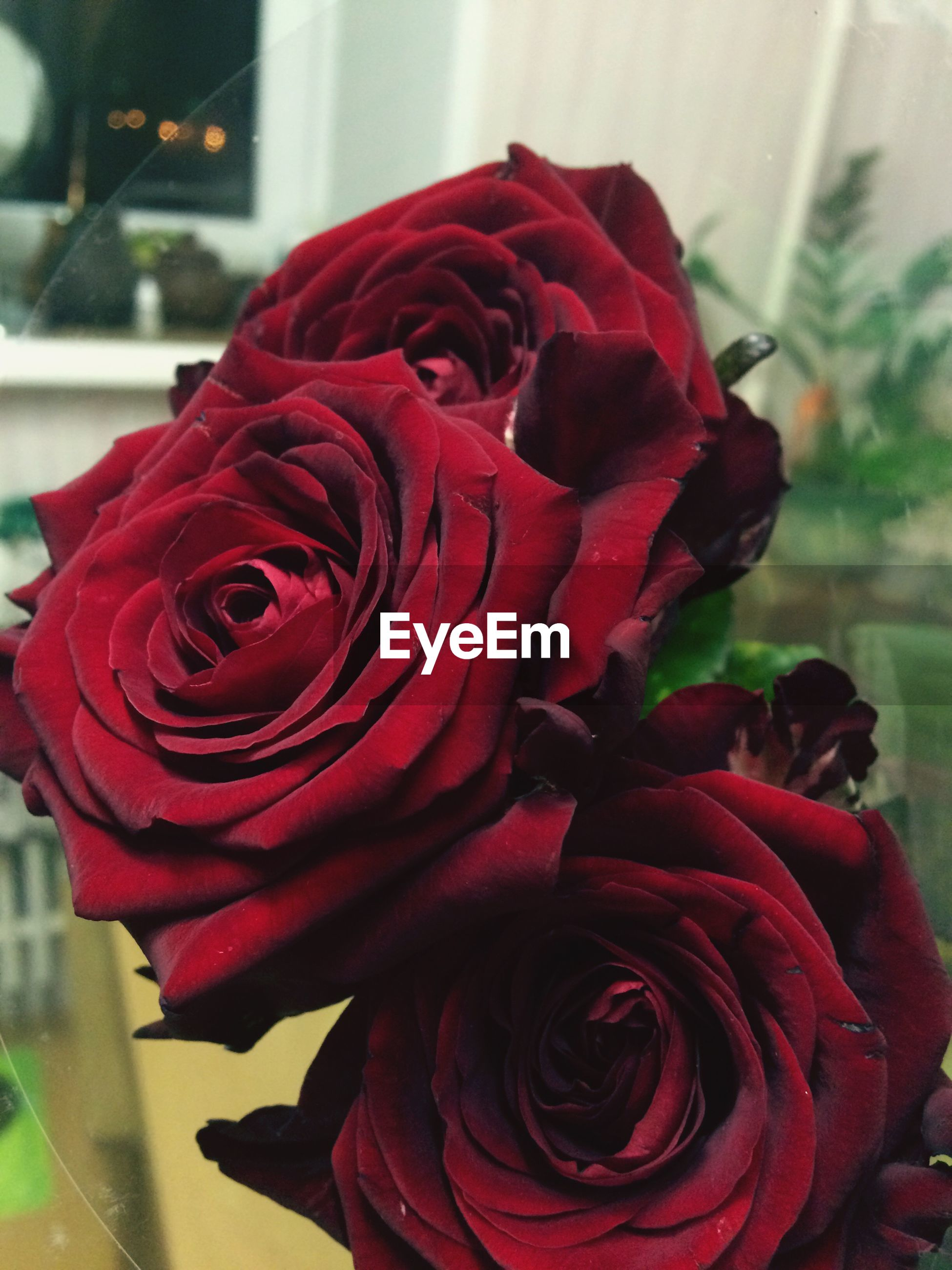 flower, red, close-up, flower head, rose - flower, petal, fragility, beauty in nature, nature, freshness, indoors, no people, day
