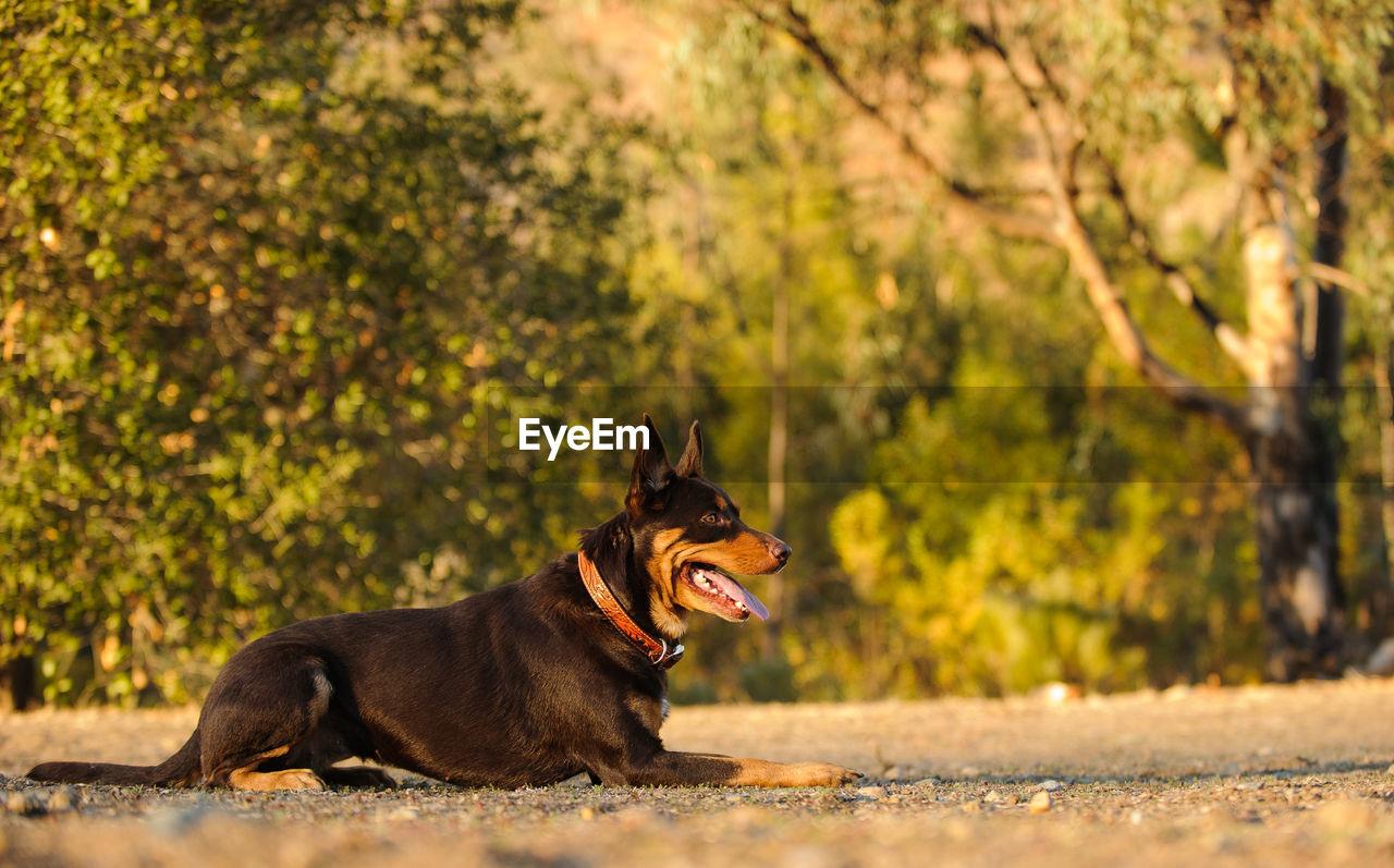 Dog Lying Outdoors
