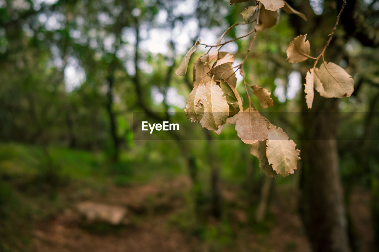 Close-Up Of Dry Leaves On Tree In Forest