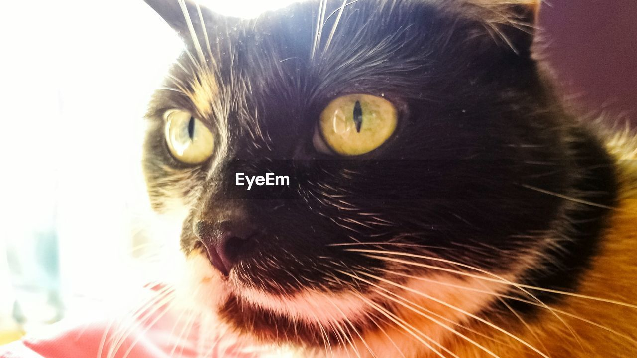 pets, domestic animals, mammal, domestic cat, one animal, animal themes, feline, whisker, portrait, looking at camera, close-up, indoors, no people, day