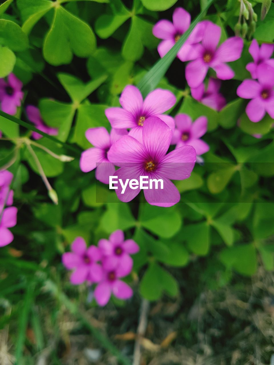 flower, petal, fragility, beauty in nature, growth, purple, nature, flower head, freshness, blooming, plant, high angle view, day, pink color, outdoors, no people, osteospermum, periwinkle, petunia, close-up