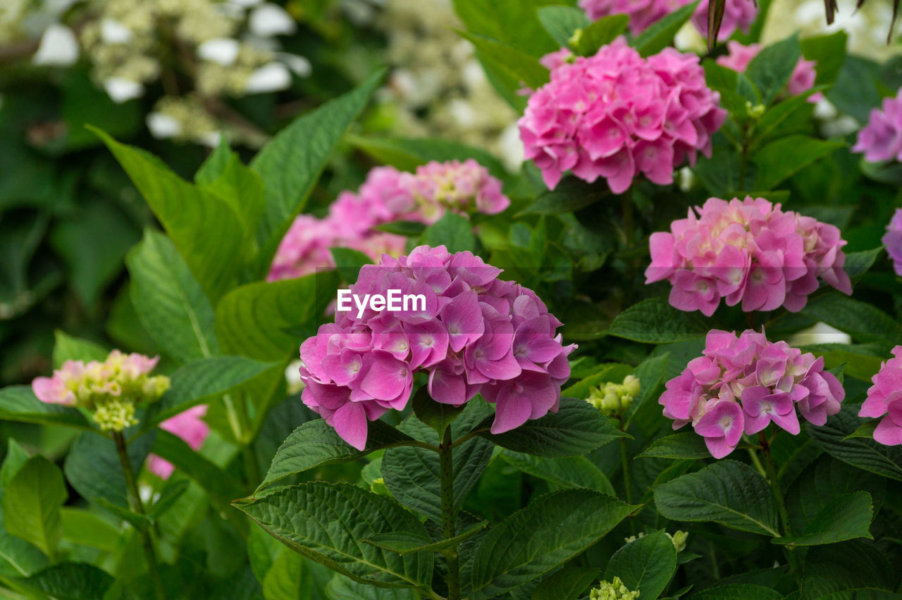 flower, growth, beauty in nature, nature, fragility, plant, pink color, leaf, freshness, petal, green color, blooming, outdoors, park - man made space, flower head, no people, day, close-up, lantana camara