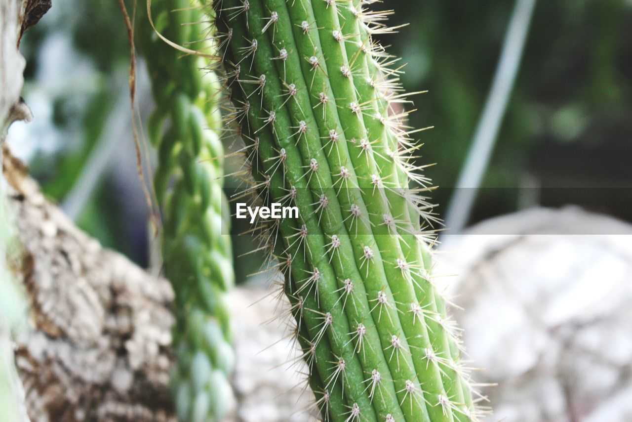 succulent plant, green color, plant, growth, cactus, selective focus, close-up, day, thorn, no people, nature, beauty in nature, sharp, focus on foreground, spiked, outdoors, natural pattern, warning sign, leaf, sign, spiky, plant nursery