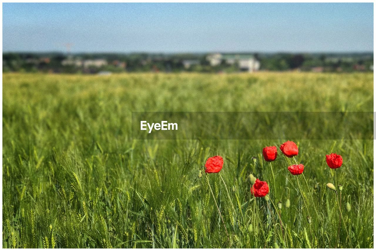 field, grass, growth, red, nature, poppy, beauty in nature, green color, no people, flower, plant, tranquility, day, freshness, outdoors, landscape, rural scene, meadow, focus on foreground, agriculture, fragility, summer, close-up, scenics, sky, wheat, flower head